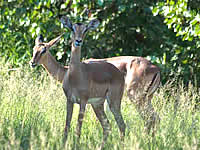 South Africa overland tours with Zafari Tours - Kruger National Park - Impala
